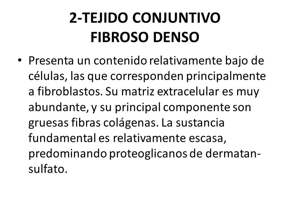 2-TEJIDO CONJUNTIVO FIBROSO DENSO