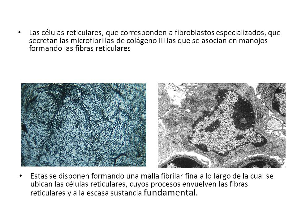 Las células reticulares, que corresponden a fibroblastos especializados, que secretan las microfibrillas de colágeno III las que se asocian en manojos formando las fibras reticulares