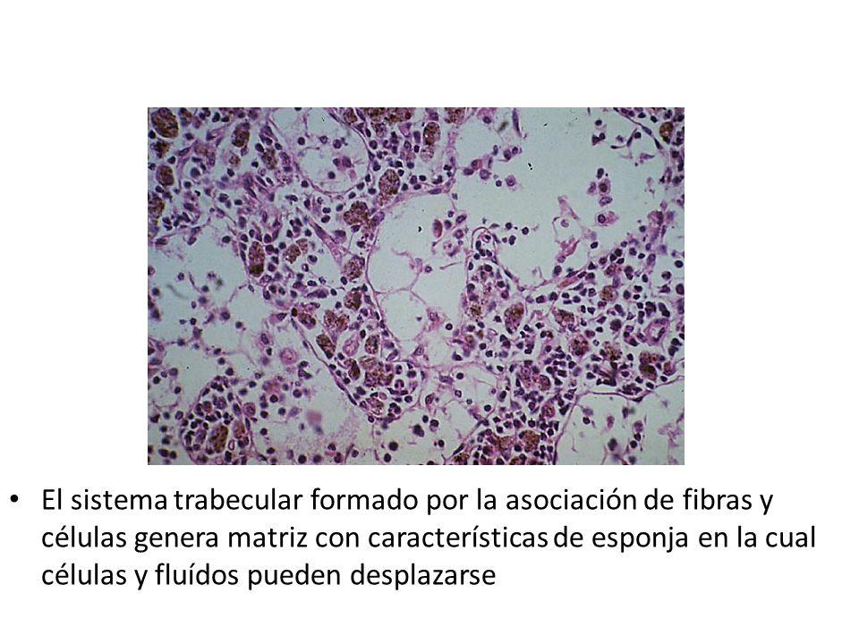 El sistema trabecular formado por la asociación de fibras y células genera matriz con características de esponja en la cual células y fluídos pueden desplazarse
