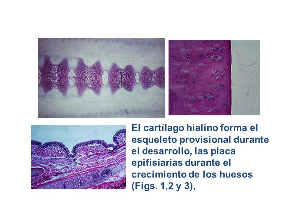 El cartílago hialino forma el esqueleto provisional durante el desarrollo, las placa epifisiarias durante el crecimiento de los huesos (Figs.