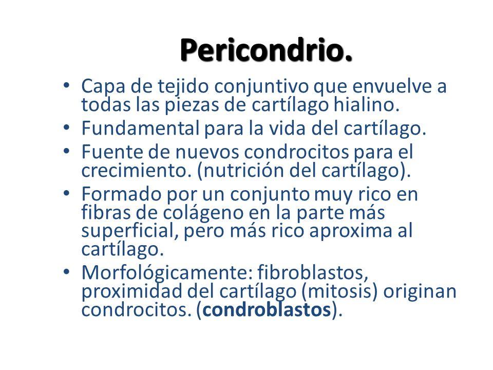 Pericondrio. Capa de tejido conjuntivo que envuelve a todas las piezas de cartílago hialino. Fundamental para la vida del cartílago.