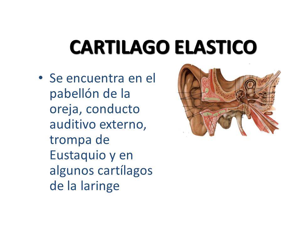 CARTILAGO ELASTICO Se encuentra en el pabellón de la oreja, conducto auditivo externo, trompa de Eustaquio y en algunos cartílagos de la laringe.