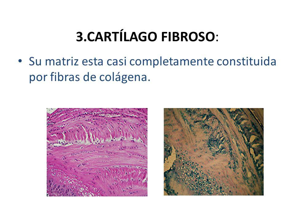 3.CARTÍLAGO FIBROSO: Su matriz esta casi completamente constituida por fibras de colágena.