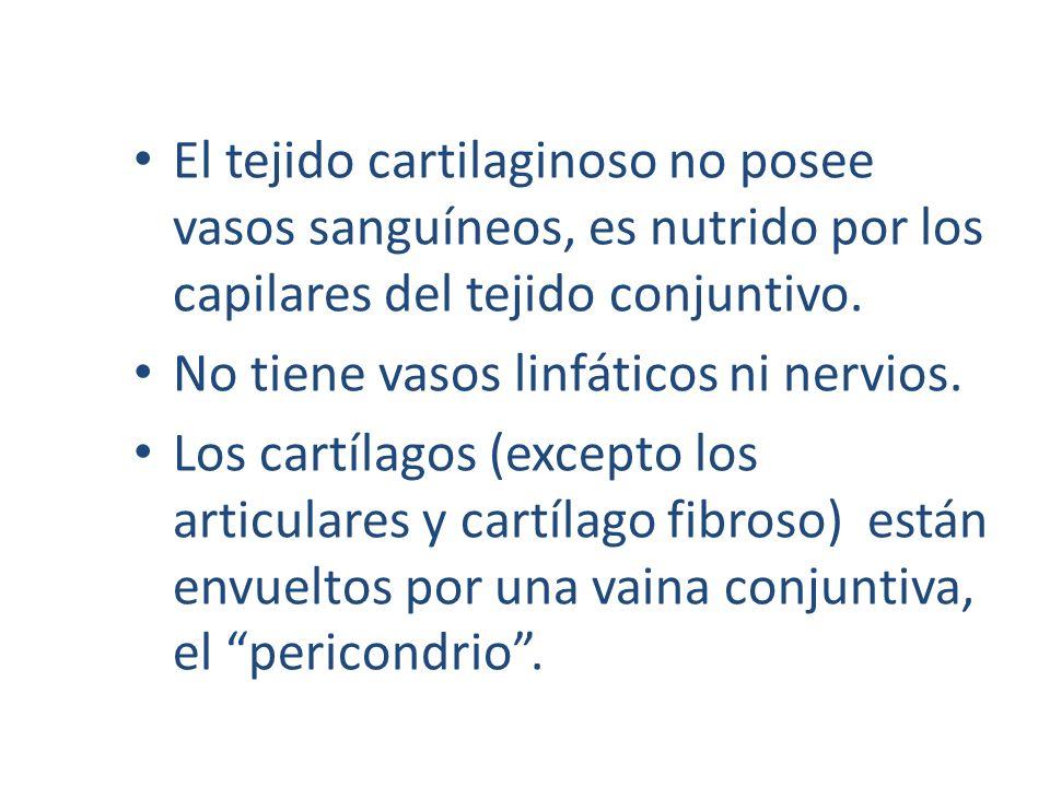 El tejido cartilaginoso no posee vasos sanguíneos, es nutrido por los capilares del tejido conjuntivo.