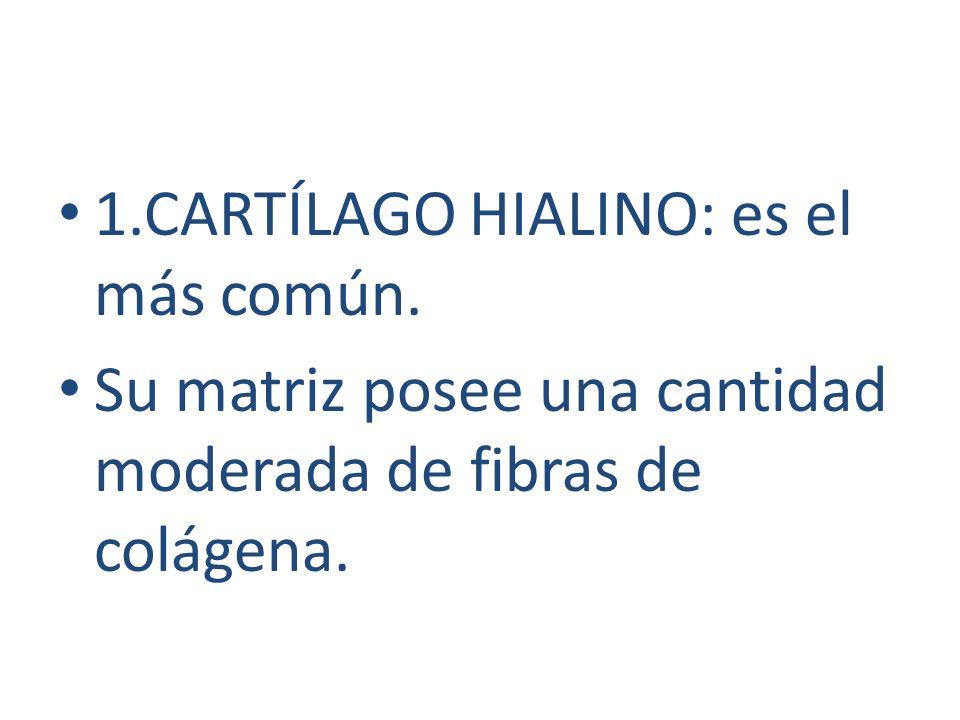 1.CARTÍLAGO HIALINO: es el más común.