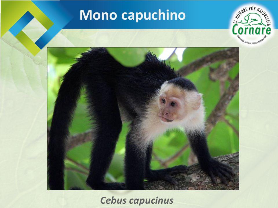 Mono capuchino Cebus capucinus