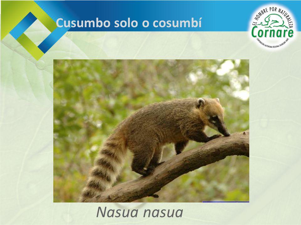 Cusumbo solo o cosumbí Nasua nasua