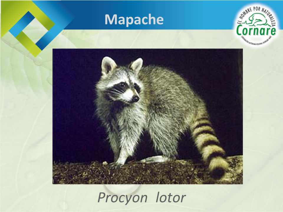 Mapache Procyon lotor