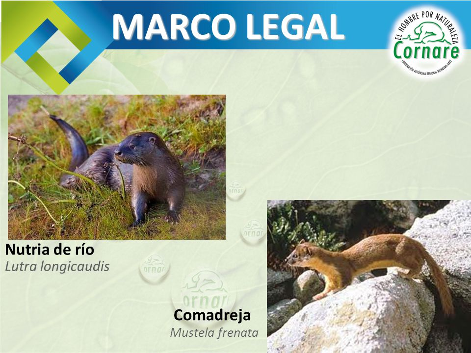 MARCO LEGAL Nutria de río Lutra longicaudis Comadreja Mustela frenata