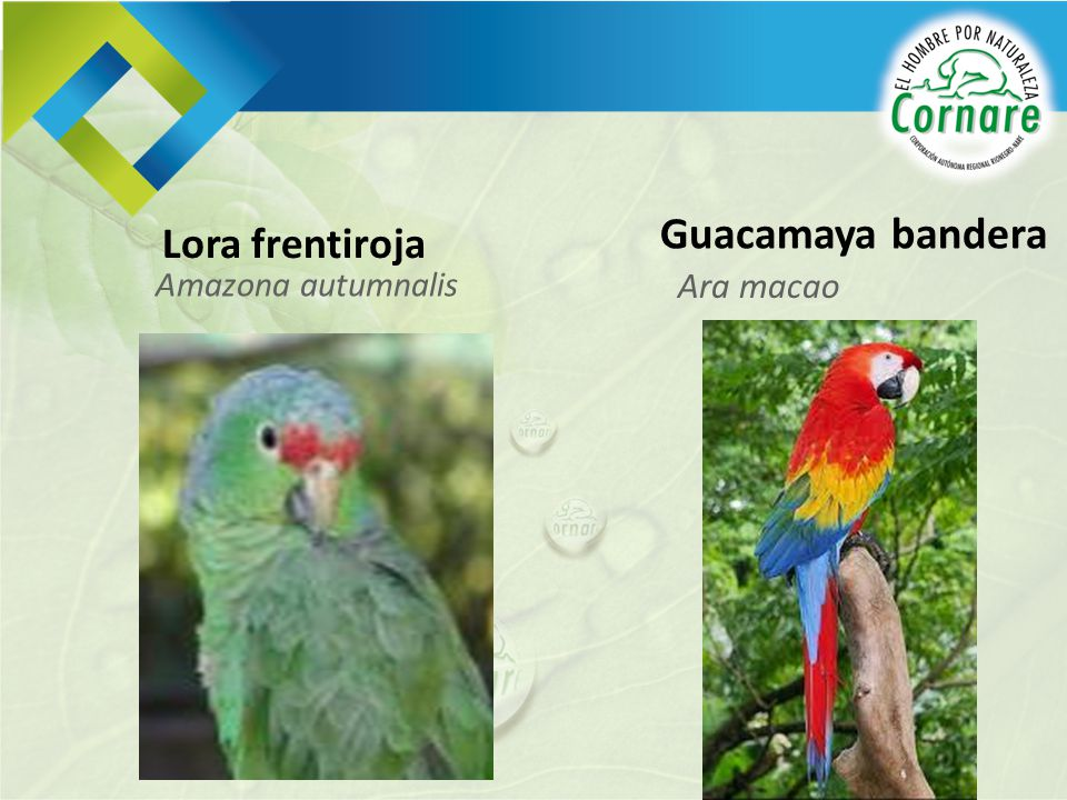 Guacamaya bandera Lora frentiroja Amazona autumnalis Ara macao