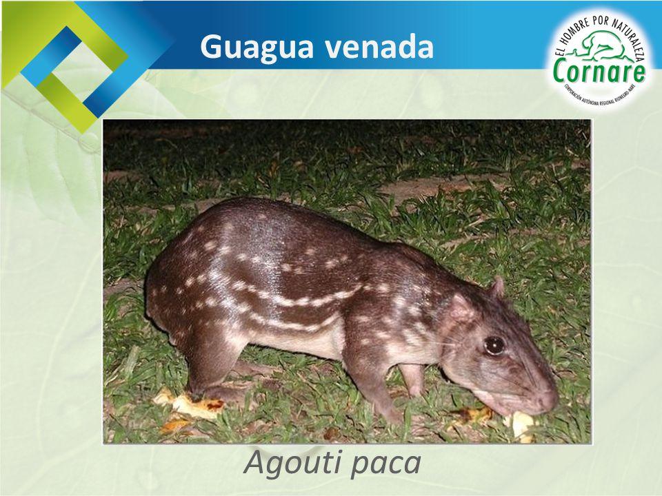 Guagua venada Agouti paca