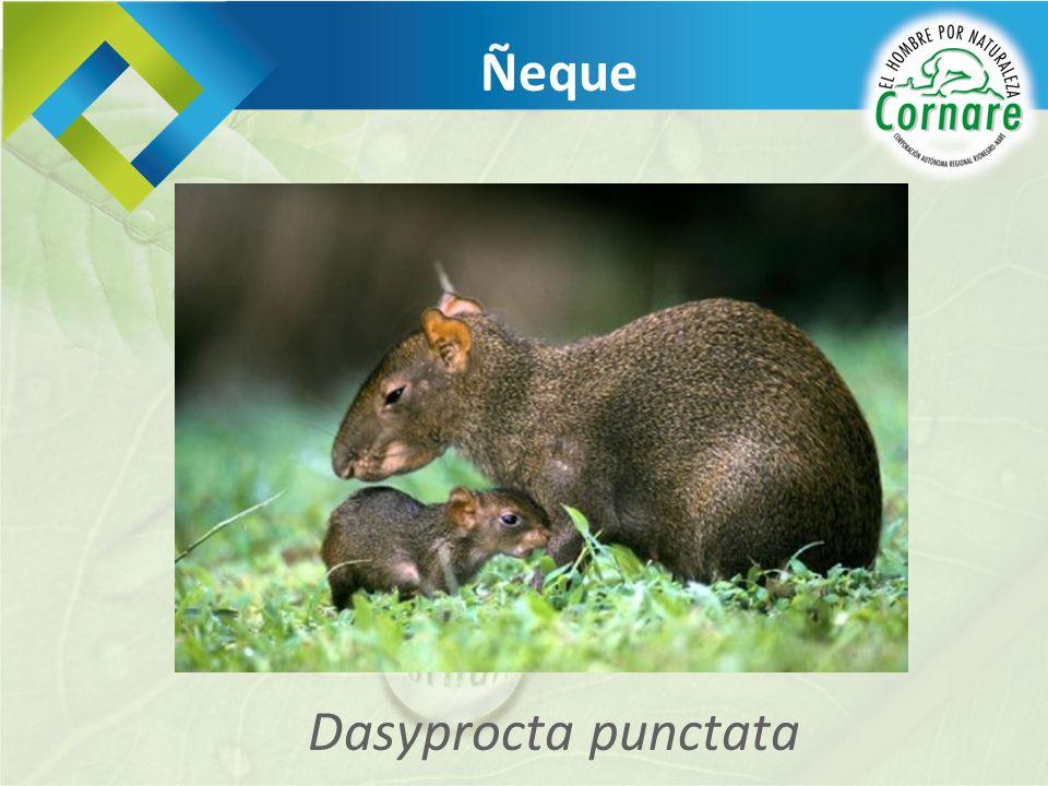 Ñeque Dasyprocta punctata