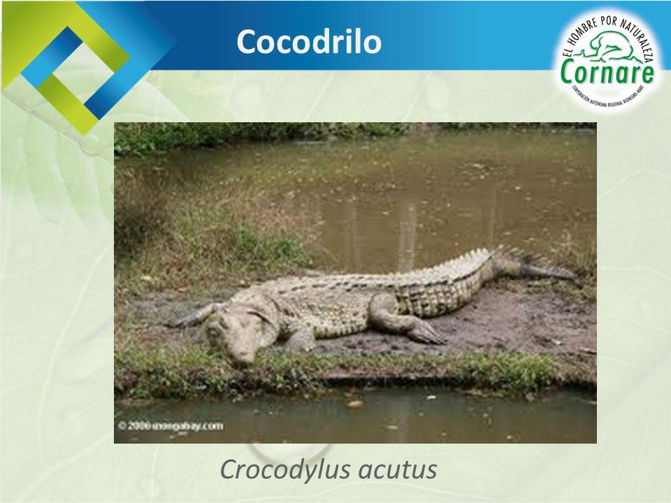 Cocodrilo Crocodylus acutus