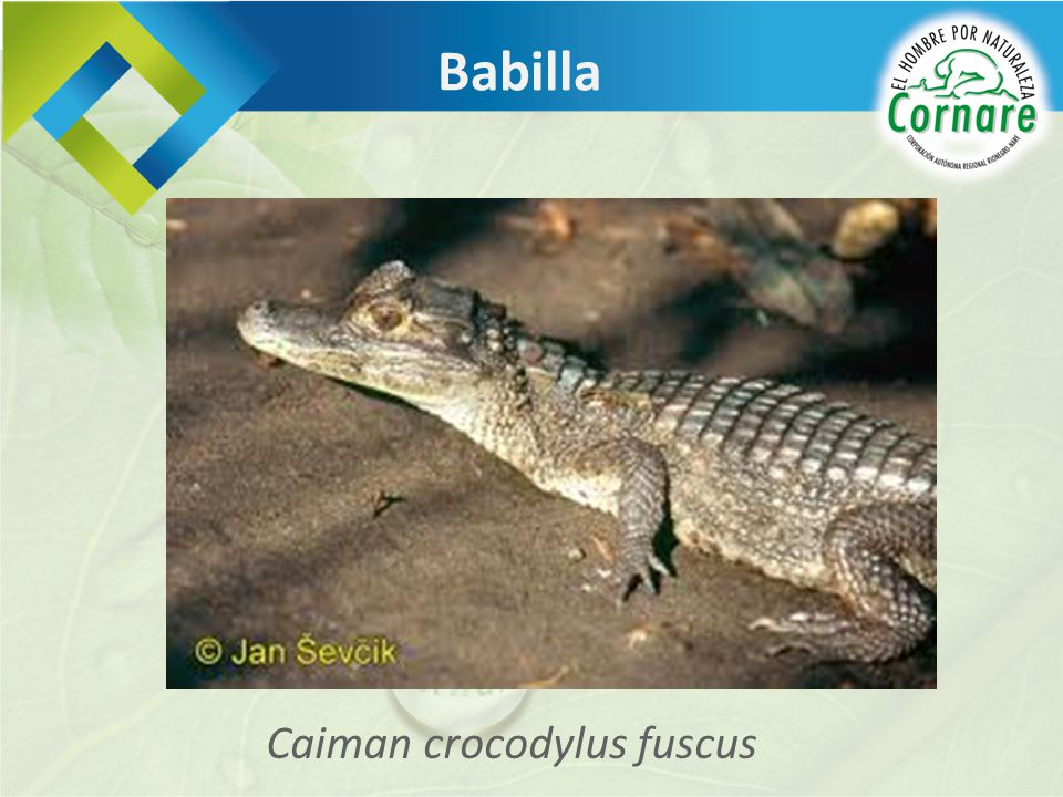 Caiman crocodylus fuscus