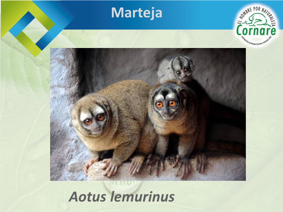 Marteja Aotus lemurinus