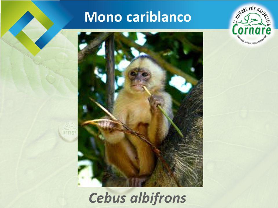 Mono cariblanco Cebus albifrons