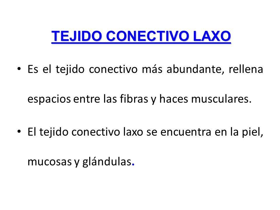 TEJIDO CONECTIVO LAXO Es el tejido conectivo más abundante, rellena espacios entre las fibras y haces musculares.