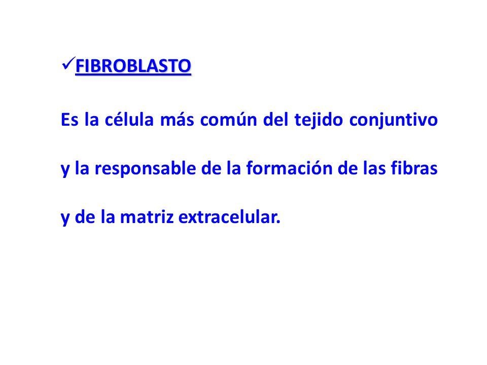 FIBROBLASTOEs la célula más común del tejido conjuntivo y la responsable de la formación de las fibras y de la matriz extracelular.