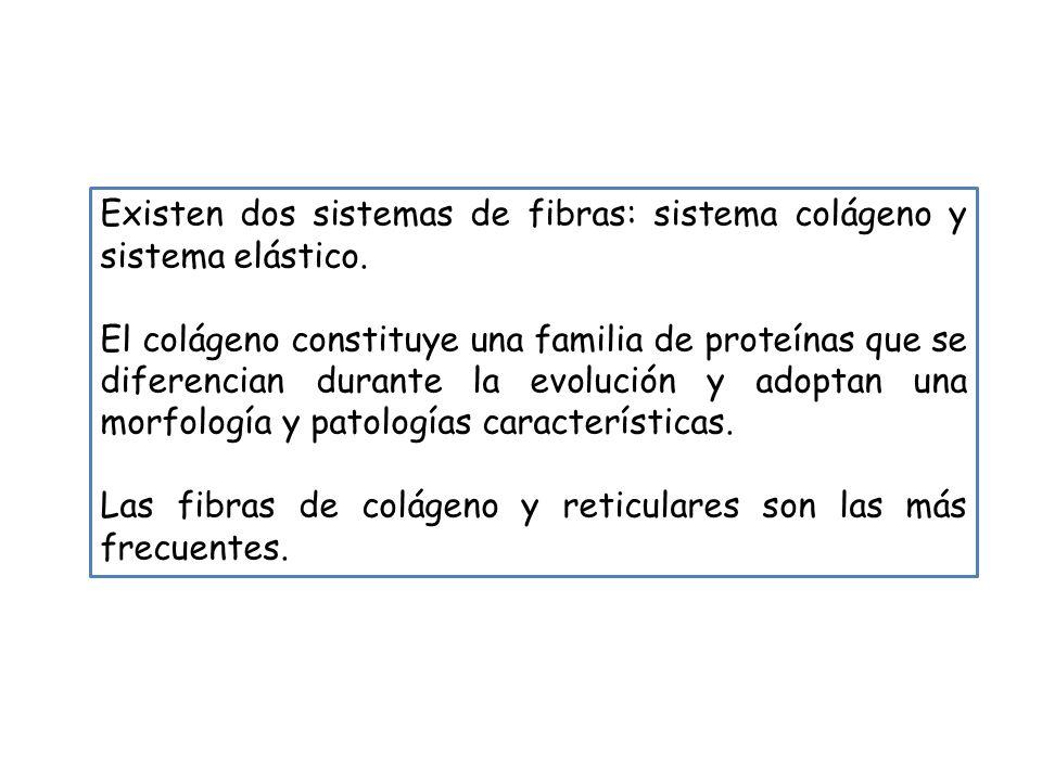 Existen dos sistemas de fibras: sistema colágeno y sistema elástico.