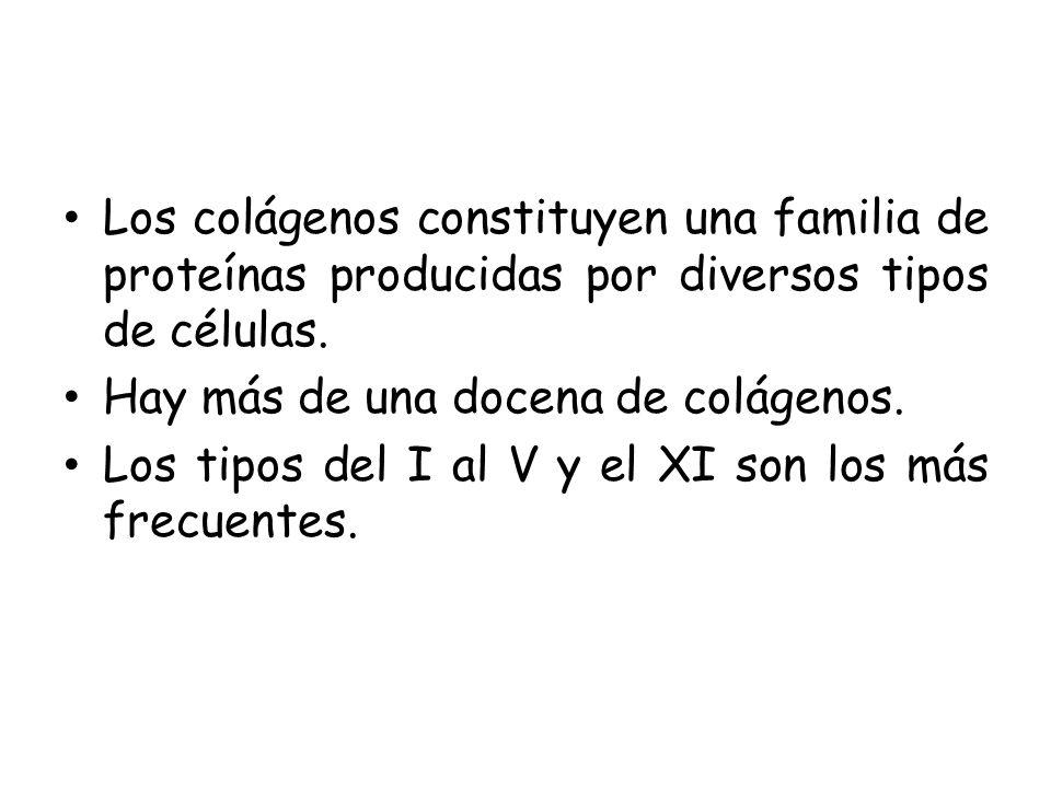 Los colágenos constituyen una familia de proteínas producidas por diversos tipos de células.