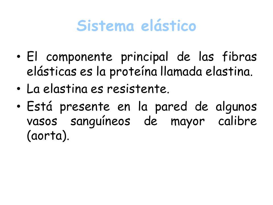 Sistema elásticoEl componente principal de las fibras elásticas es la proteína llamada elastina. La elastina es resistente.