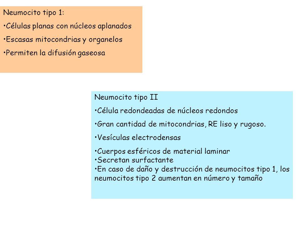 Neumocito tipo 1:Células planas con núcleos aplanados. Escasas mitocondrias y organelos. Permiten la difusión gaseosa.