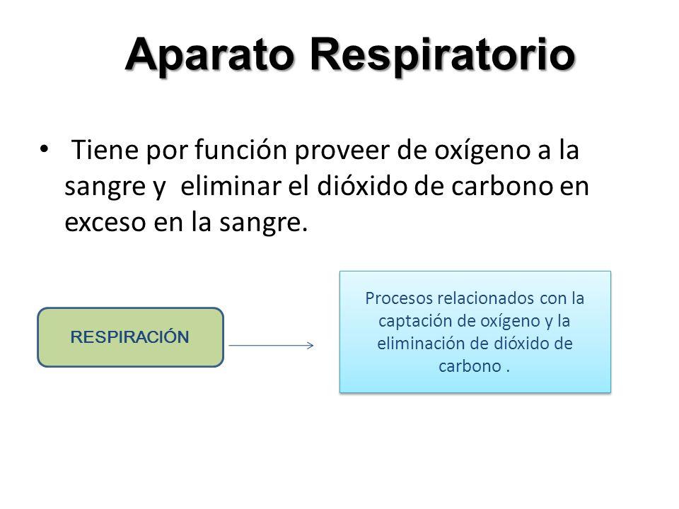Aparato RespiratorioTiene por función proveer de oxígeno a la sangre y eliminar el dióxido de carbono en exceso en la sangre.