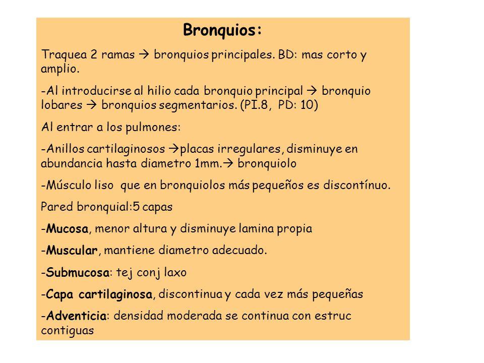 Bronquios:Traquea 2 ramas  bronquios principales. BD: mas corto y amplio.