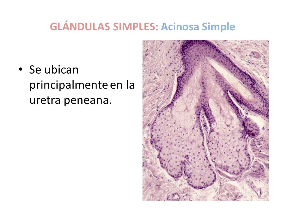 GLÁNDULAS SIMPLES: Acinosa Simple