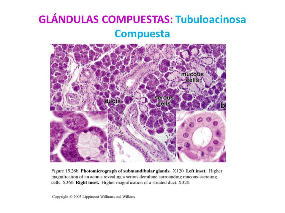 GLÁNDULAS COMPUESTAS: Tubuloacinosa Compuesta
