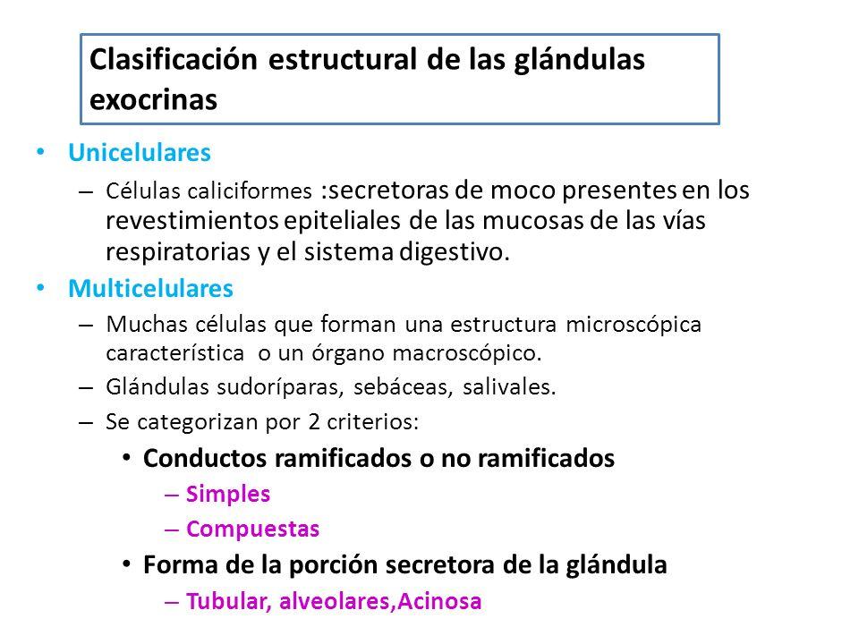 Clasificación estructural de las glándulas exocrinas