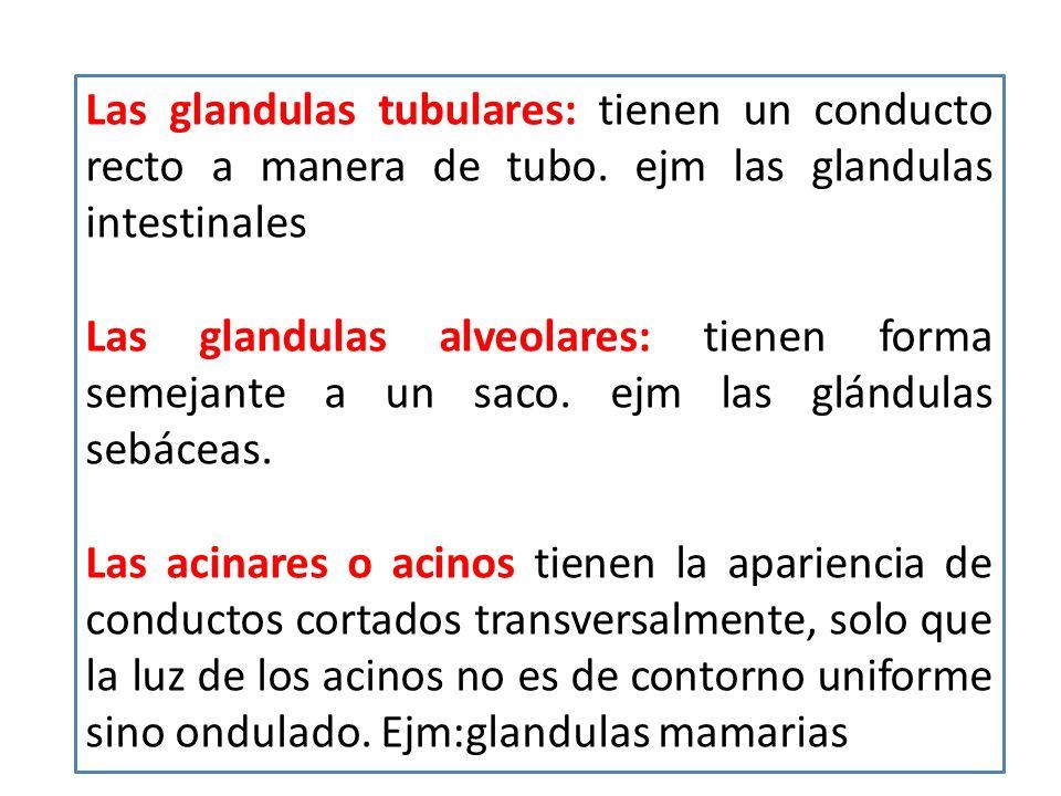 Las glandulas tubulares: tienen un conducto recto a manera de tubo