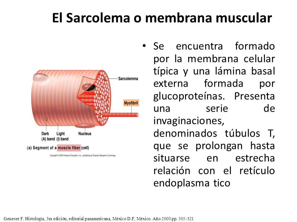El Sarcolema o membrana muscular