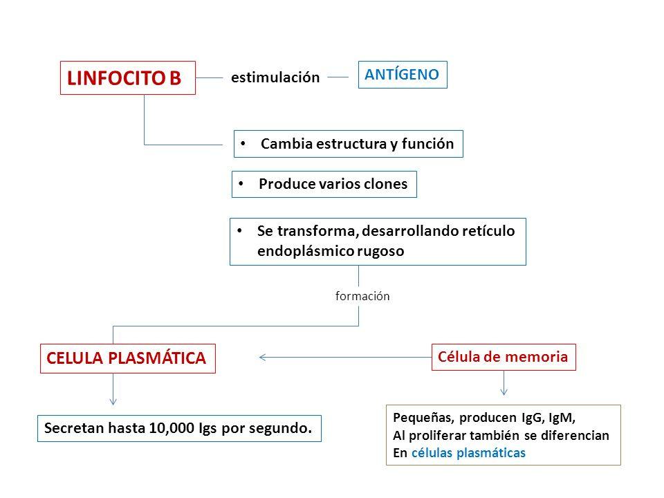 LINFOCITO B CELULA PLASMÁTICA ANTÍGENO estimulación