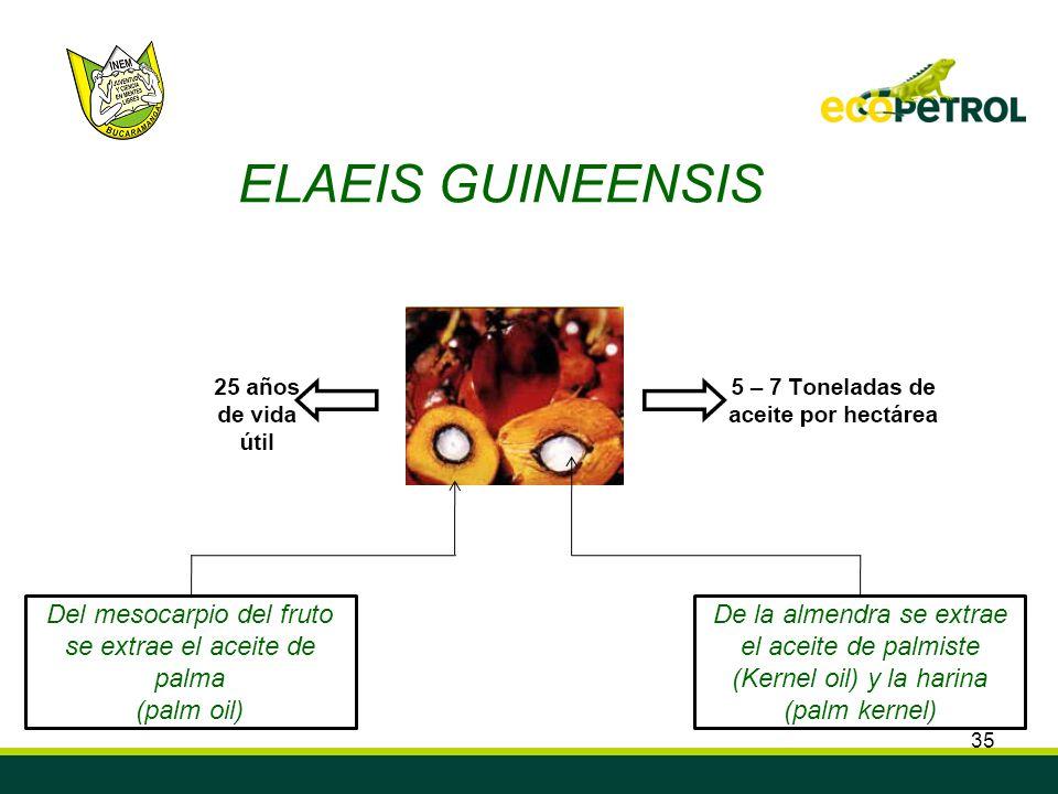 Del mesocarpio del fruto se extrae el aceite de palma (palm oil)