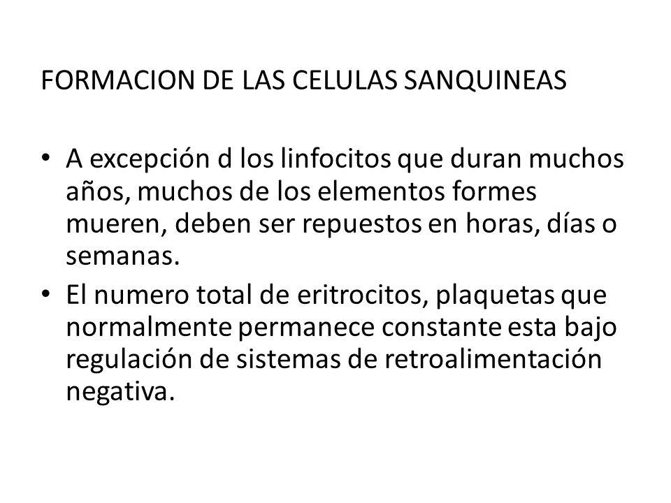 FORMACION DE LAS CELULAS SANQUINEAS