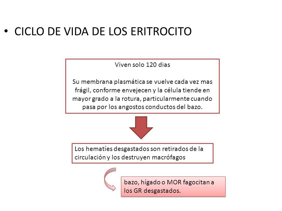 CICLO DE VIDA DE LOS ERITROCITO