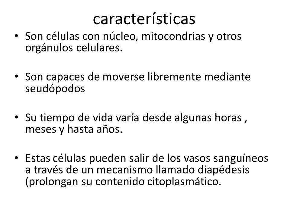 características Son células con núcleo, mitocondrias y otros orgánulos celulares. Son capaces de moverse libremente mediante seudópodos.