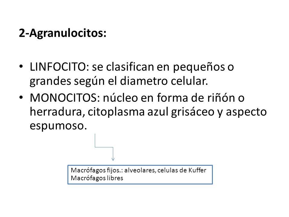 2-Agranulocitos: LINFOCITO: se clasifican en pequeños o grandes según el diametro celular.