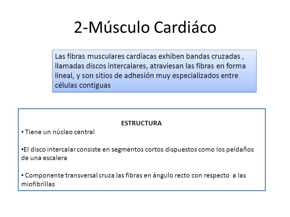 2-Músculo Cardiáco