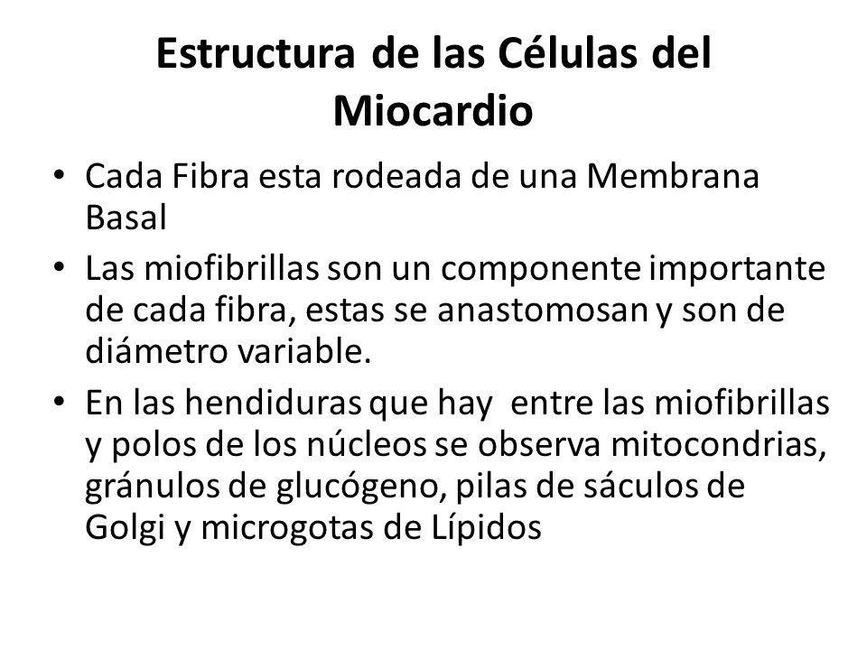 Estructura de las Células del Miocardio