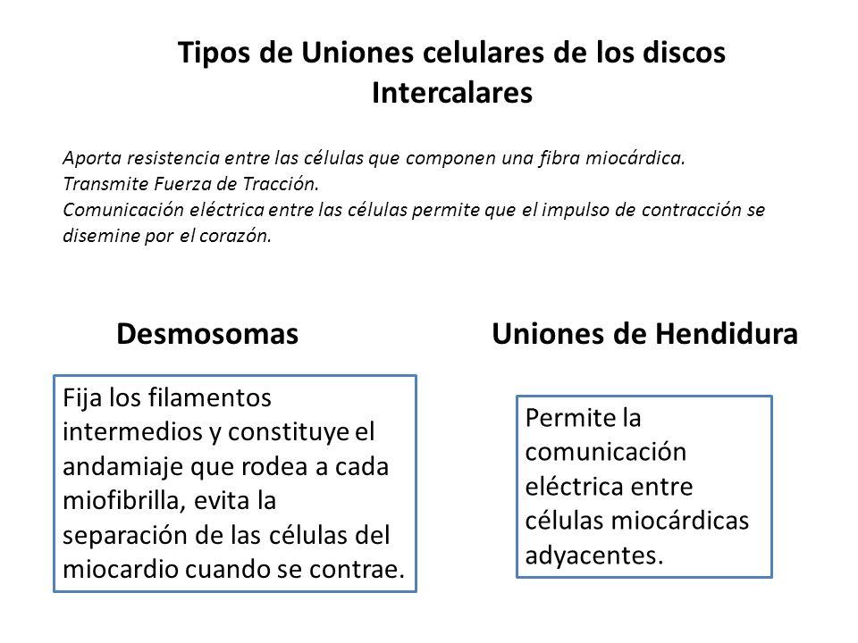 Tipos de Uniones celulares de los discos Intercalares