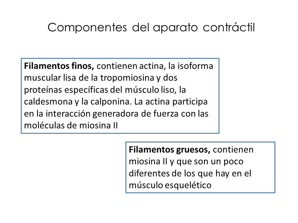 Componentes del aparato contráctil