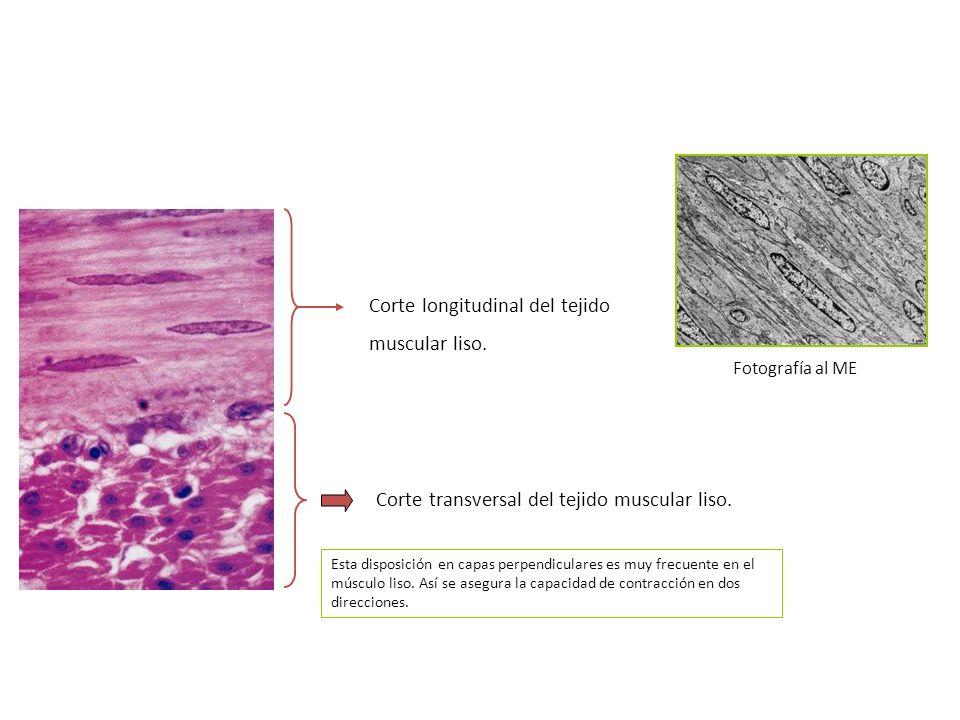 Corte longitudinal del tejido muscular liso.