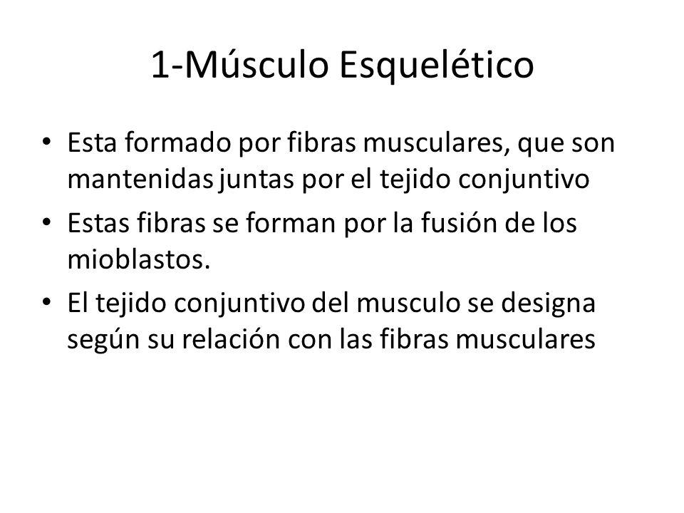1-Músculo Esquelético Esta formado por fibras musculares, que son mantenidas juntas por el tejido conjuntivo.