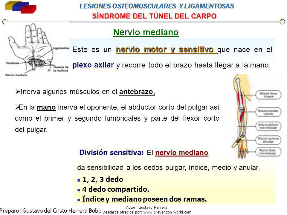 Nervio mediano Este es un nervio motor y sensitivo que nace en el plexo axilar y recorre todo el brazo hasta llegar a la mano.