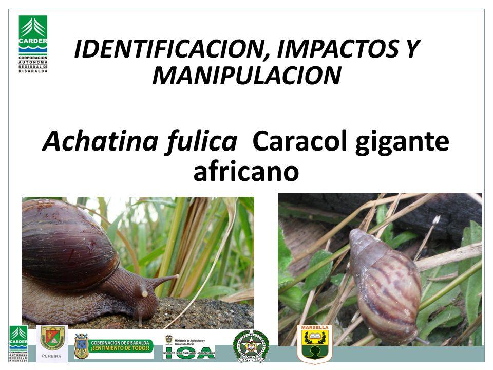 Achatina fulica Caracol gigante africano