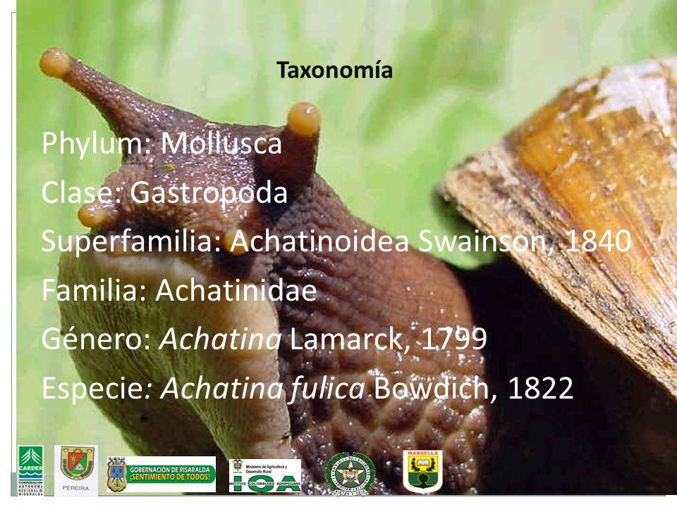 Superfamilia: Achatinoidea Swainson, 1840 Familia: Achatinidae