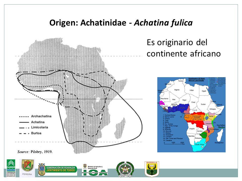 Origen: Achatinidae - Achatina fulica