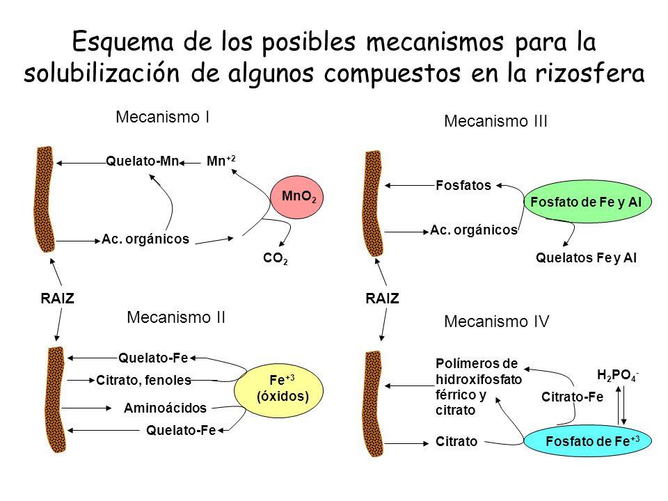 Esquema de los posibles mecanismos para la solubilización de algunos compuestos en la rizosfera